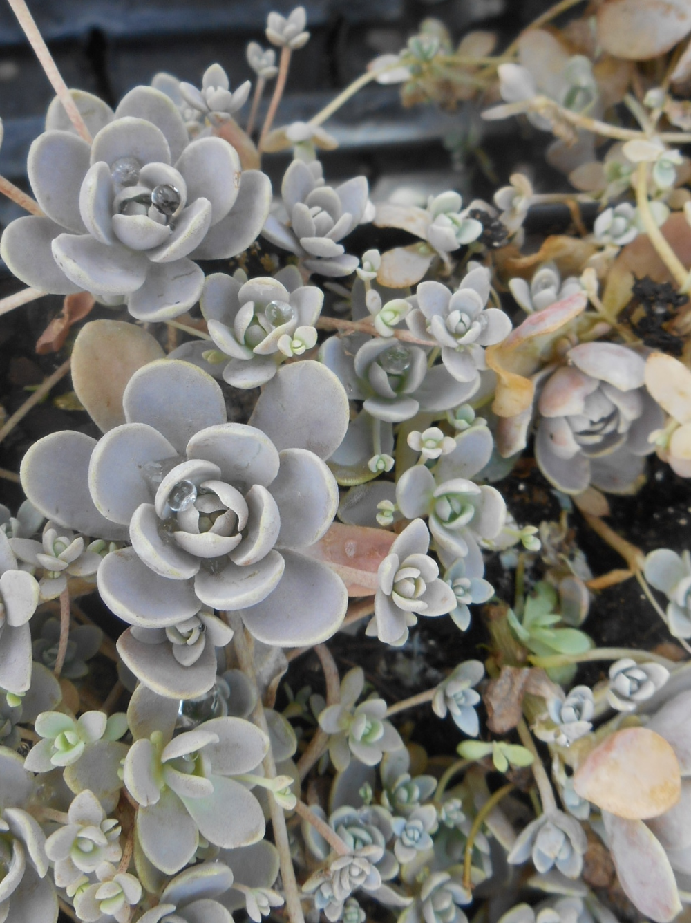 Orostachys Iwarenge Chinese Dunce Cap In China Called Wa Song Shu Z 5 10 Heritage Flower Farm Flower Farm Flower Spike Plant Goals
