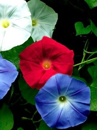 Morning Glory Old Glory Mix Morning Glory Flowers Climbing Flowers Garden Vines
