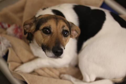 Willow Lexington Humane Society Adoptable Beagles Pet Finder