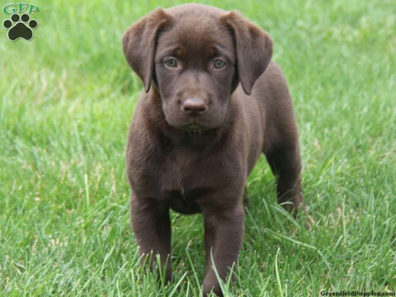 Cassie, Chocolate Lab Puppy For Sale in Honey Brook, Pa | LABS ...