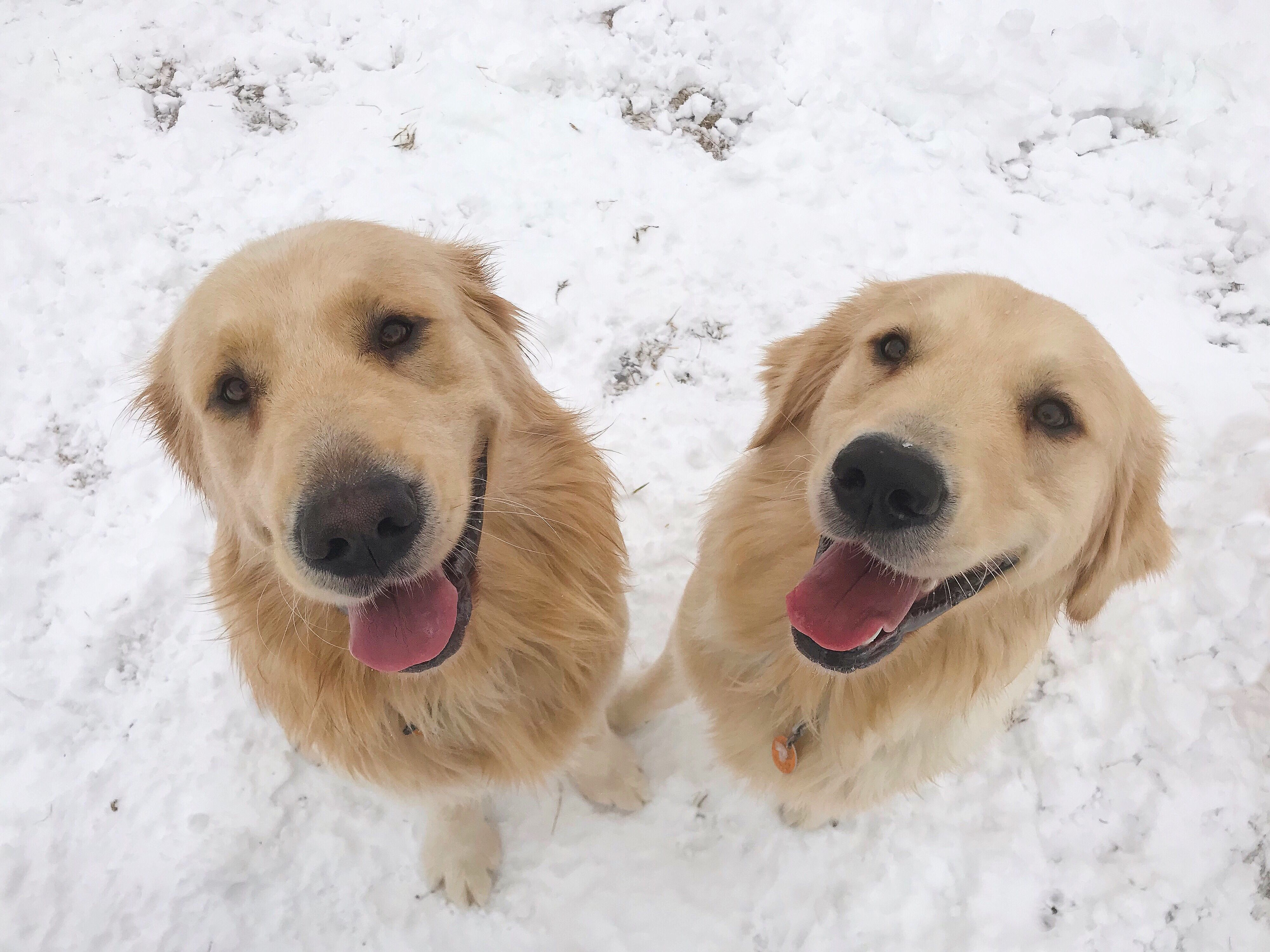 Handsome Golden Retriever Brothers From Maine Beautiful Dogs