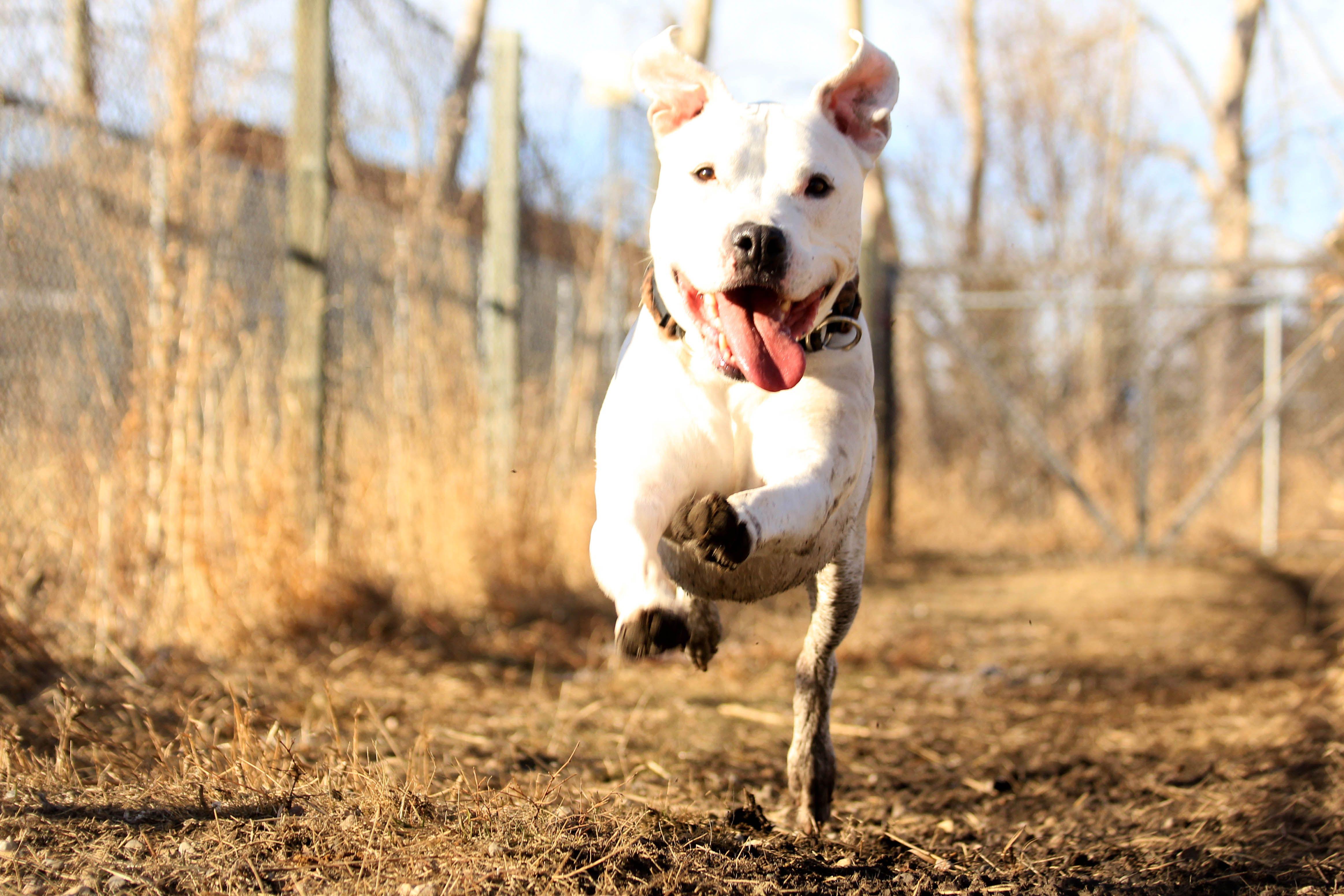 Standard Poodle Puppy Storm Poodle Puppy Standard Poodle Poodle Puppy Standard