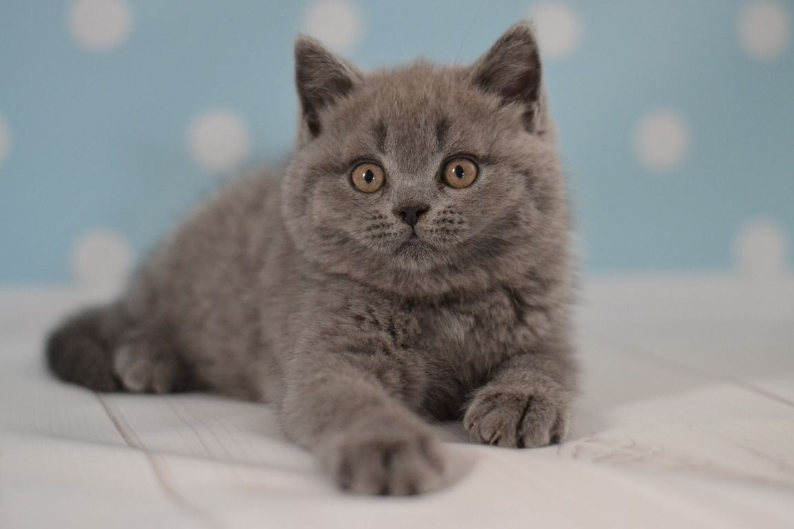 Scottish Straight Baby Boy Color Blue Was Born 05 28 2017 Text For More Information 302 864 80 30 Scottish Scottishstraight Scottishfold Kittensinny