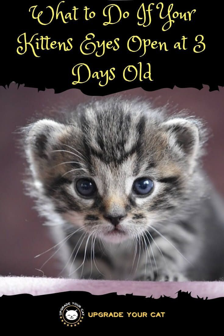 Kittens Eyes Open At 3 Days Old Here S What To Do Upgrade Your Cat Kitten Eyes Pet Care Cats Newborn Kittens
