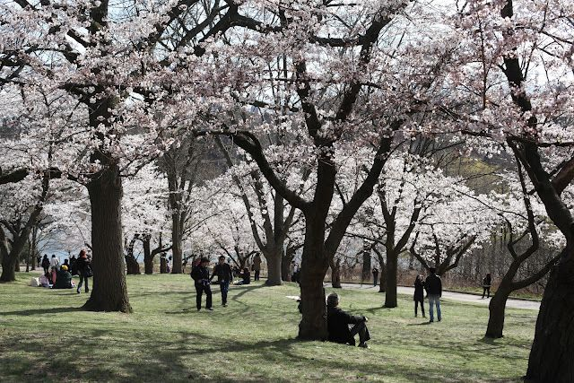 Sakura In Dusseldorf Or Where To Find The Best Spots To See Cherry Blossom Wanderland Solo Travel Cherry Blossom