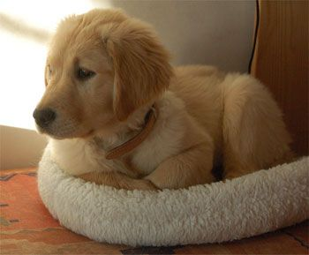 Boogie Golden Retriever Animals Golden Retriever Breed