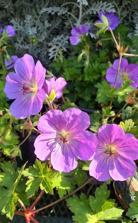 Perennial Ground Cover Full Sun: A Semi-evergreen Perennial Ground-cover That Blooms Early