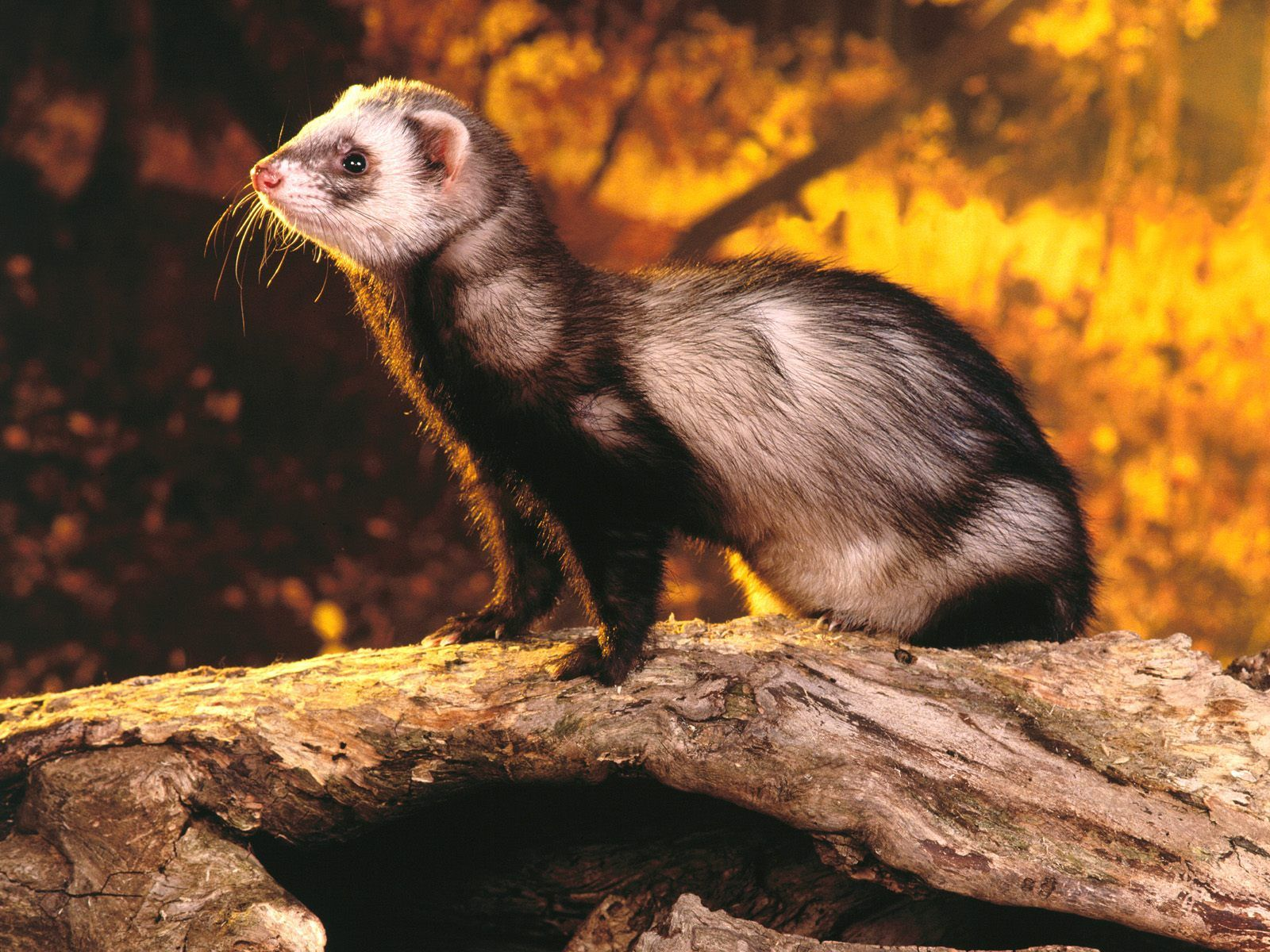 Free Ferret Wallpapers And Ferret Backgrounds Ferret Cute Ferrets Animals