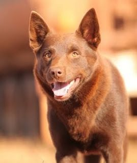 Geelong Visual Diary A Red Kelpie Australian Kelpie Dog Dog Movies Red Dog