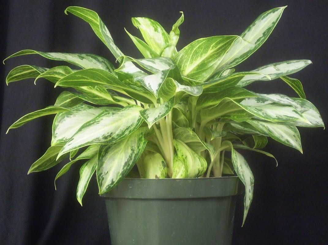 How to care, repot, propagate, cultivate, decorate, germinate, feed, water and more information about Aglaonema.