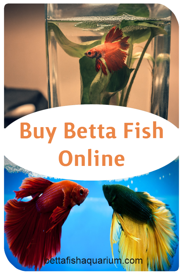 Buy Betta Fish Online Betta Betta Fish Pet Fish