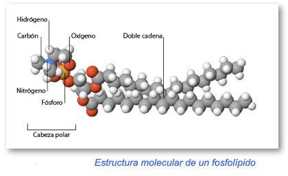 Estructura De Los Fosfolipidos Ligados Al Omega3