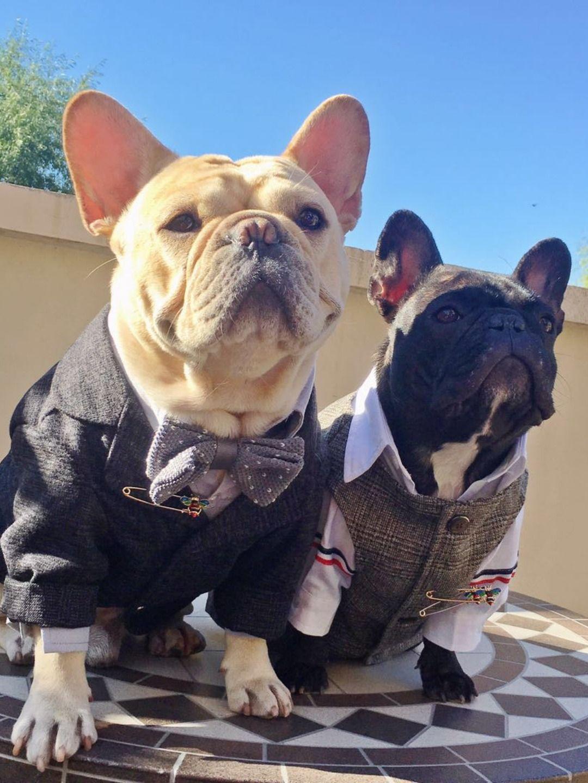 Wedding Black Tails Tuxedo Bow Tie Attire For Frenchie Bulldogs Bulldog English Bulldog Puppies Frenchie Bulldog