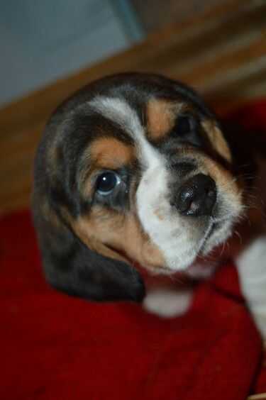 Pin By Brenda Bailey On Beagles Puppies Beagle Beagle Puppy