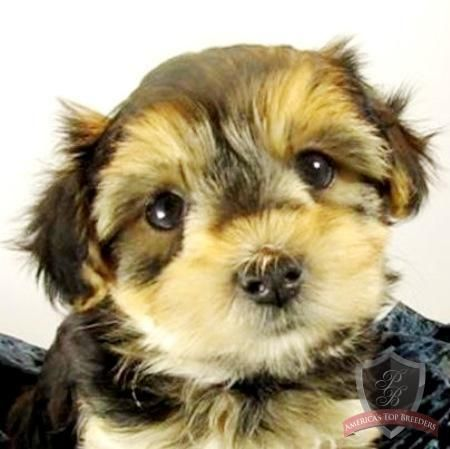 Morkie Puppy Mandy Morkie Puppies Puppies Morkie Puppies For Sale