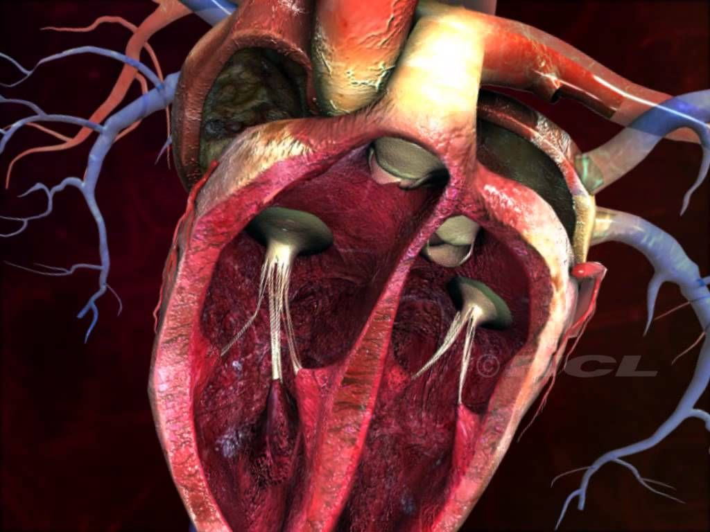 Structure of the Human Heart | Science: Human Anatomy ...