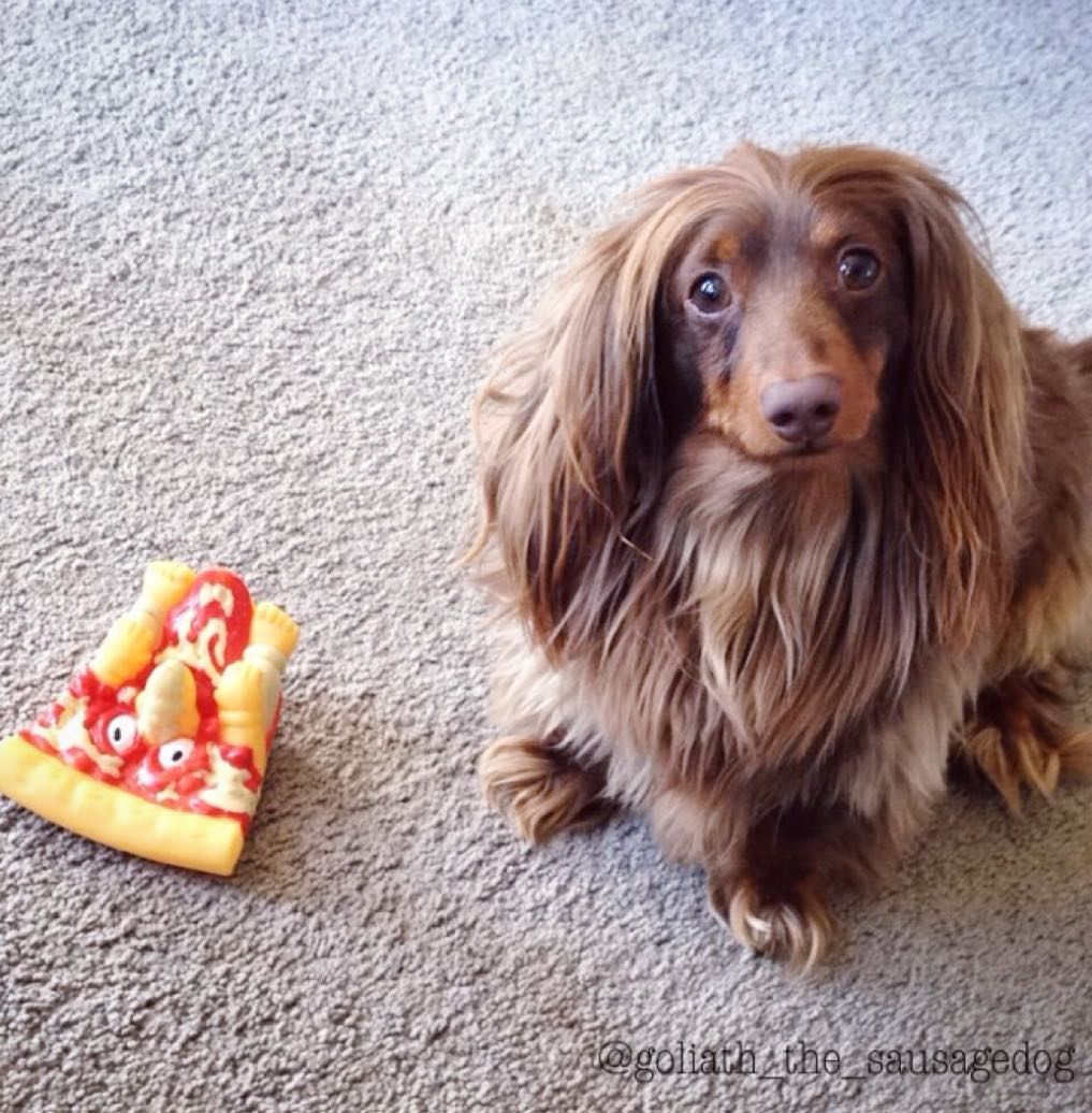 This hairy hound is looking for a 'pizza' the action. Goliath is a miniature dachshund and whilst he may be little, he lives up to his name as he believes he's a giant. Mind you, he needs to be brave because the squeaky pizza toy does look rather freaky.