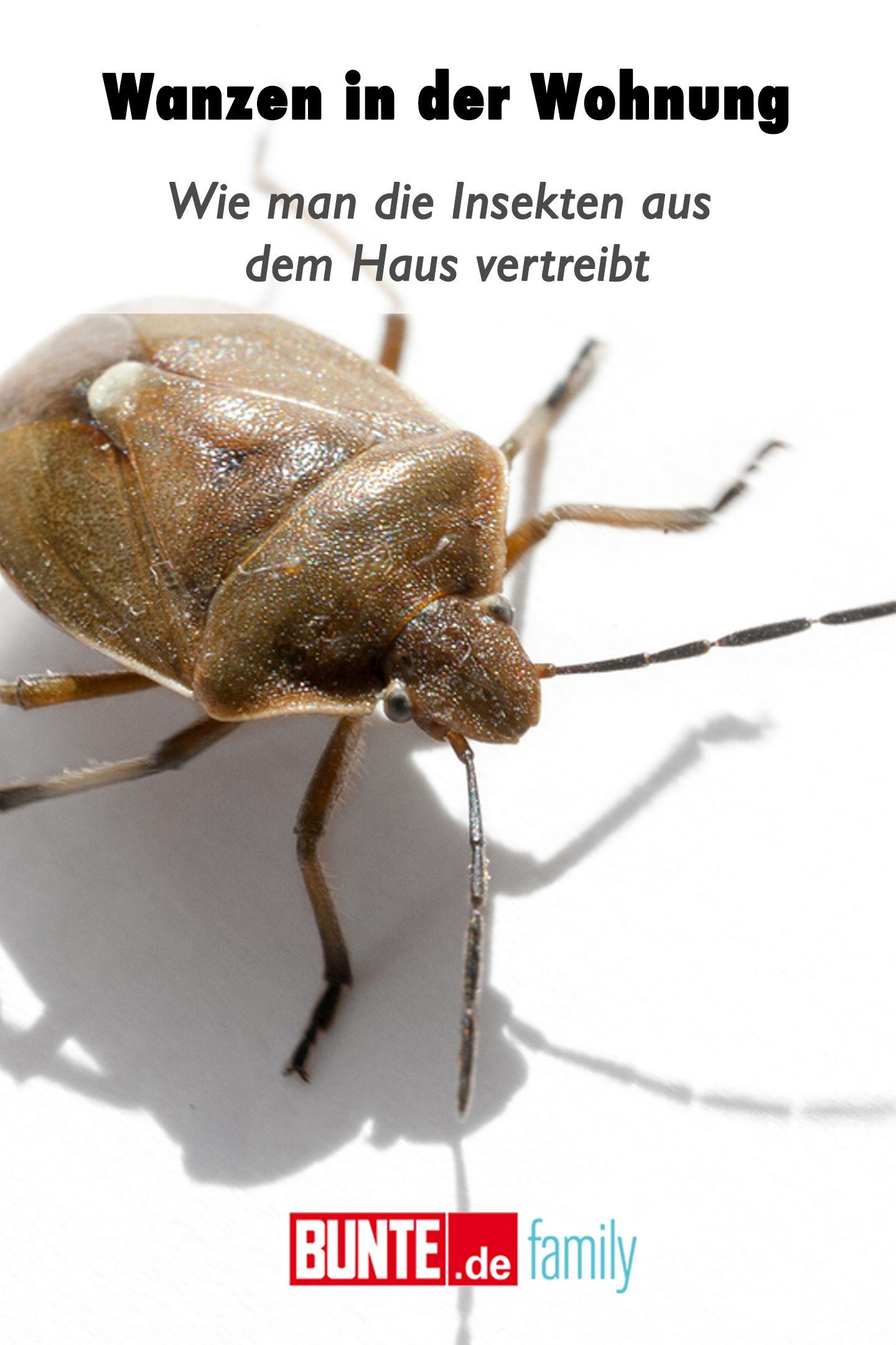 Wanzen In Der Wohnung Wie Man Die Insekten Aus Dem Haus Vertreibt Vertreiben Insekten Und Life Hacks Haushalt