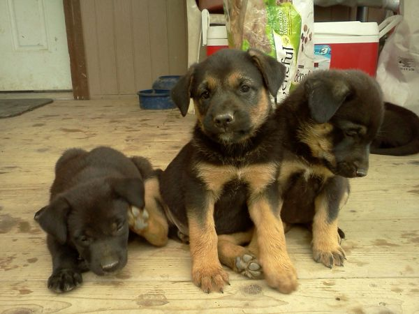 Craigslist Lab Sheppard Dog Love Cute Animals German Shepherd Puppies