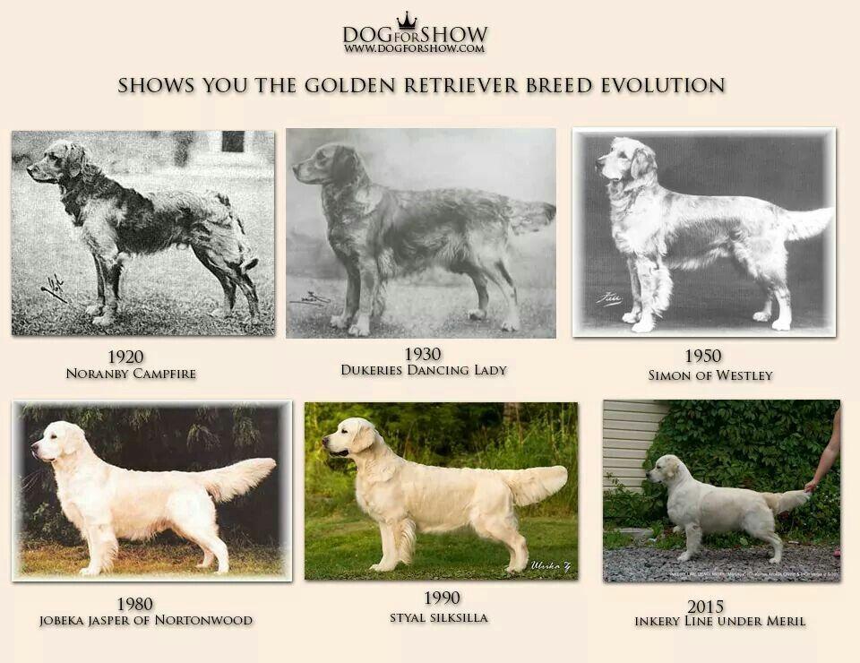 Golden Retriever Evolution | Golden retriever breed, Golden ...