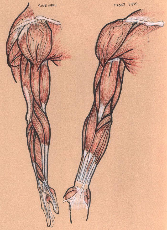 Muscle-arm   FIGURA HUMANA , COMO DIBUJARLA   Pinterest   Anatomía ...