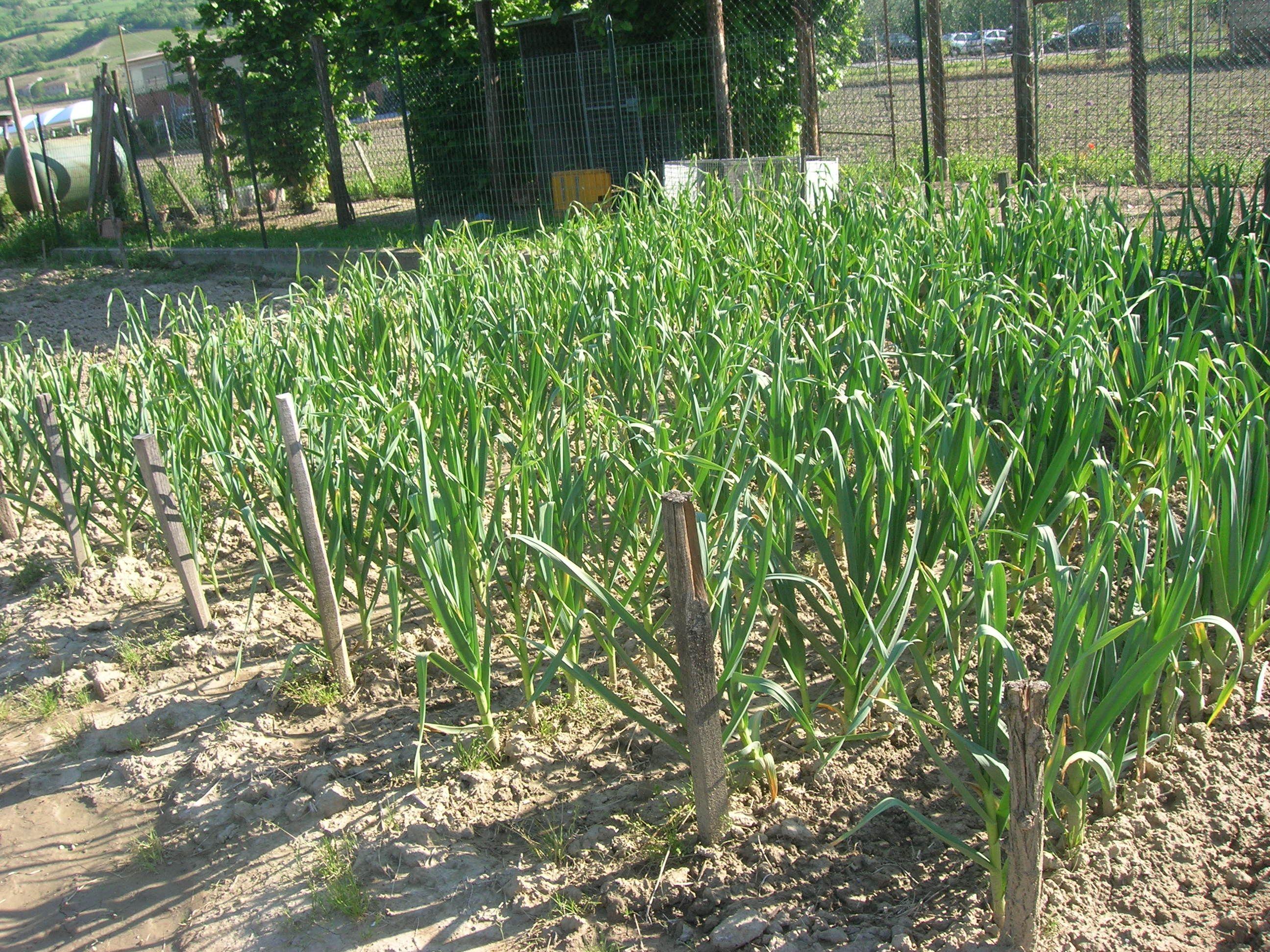 Primav 2014:L'aglio messo a dimora ad Ottobre ha resistito bene ai freddi ed adesso è in pieno sviluppo...........................Garlic planted in October stood up well to the cold and is now in full developmentand