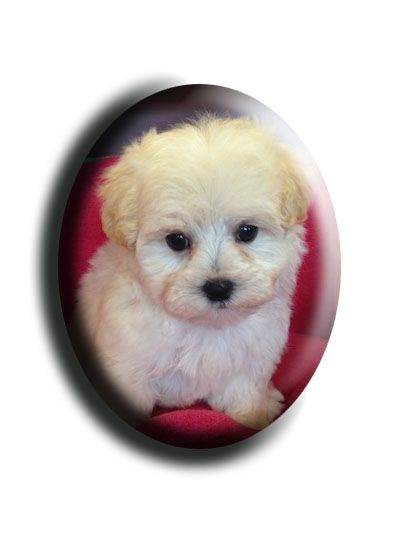 Shampoodles Pet Grooming Dog Of The Day Maltipoo Puppies Maltipoo Puppy Puppies Dog Grooming