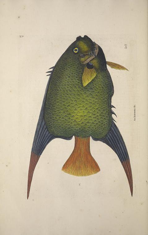 The Natural History of Carolina, Florida and the Bahama Islands Vol II, Mark Catesby, 1734.