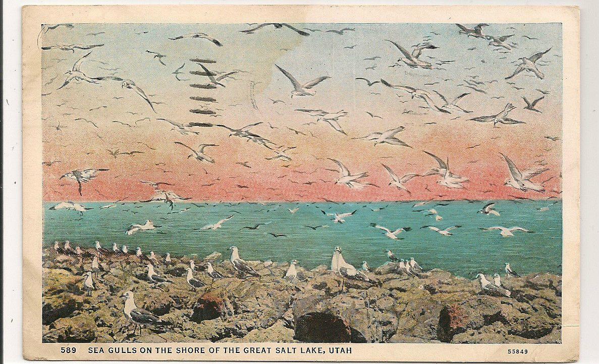 Circa 1930 white border seagulls on shore great salt lake