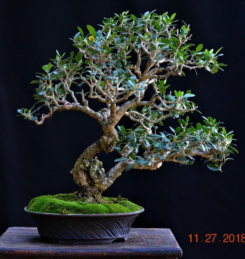 Olive Bonsai Olea Europaea Small Leaf Variety Medium Size