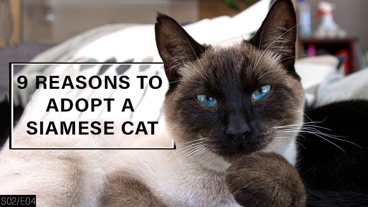 9 Reasons to Adopt a Siamese Cat! https//cstu.io/35de96