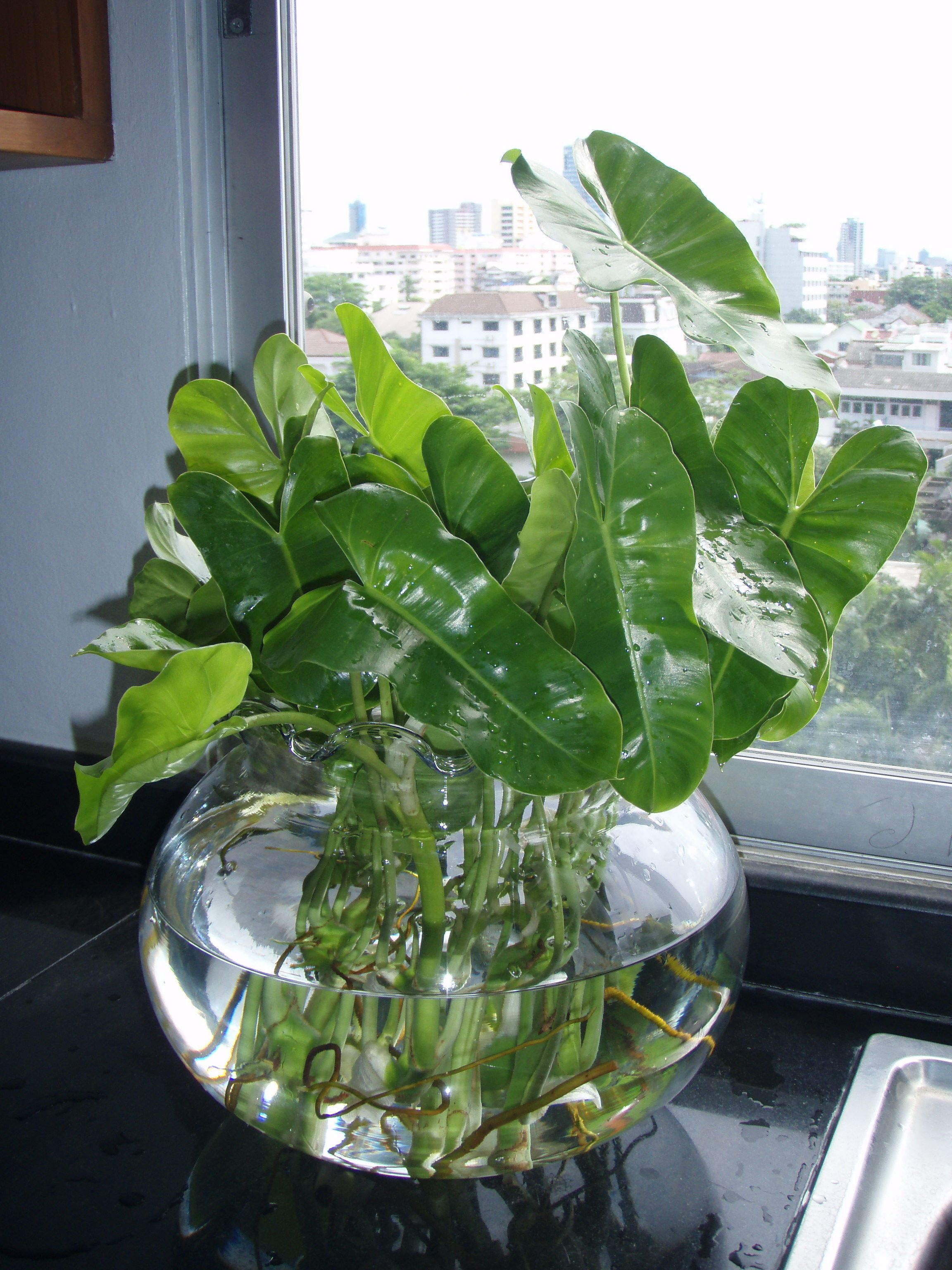 "gwak nguen"" tropical creeping and foliage plants | large glass"