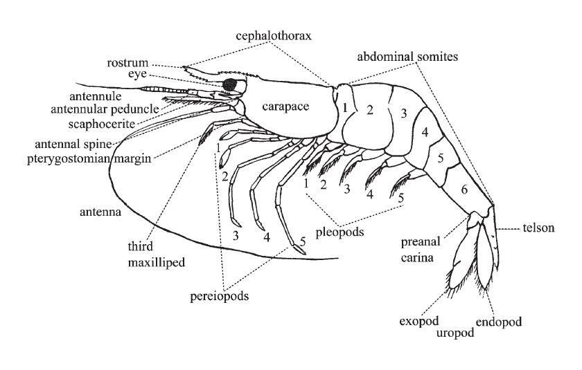 Amano shrimp anatomy | shrimps | Pinterest | Aquariums, Freshwater ...