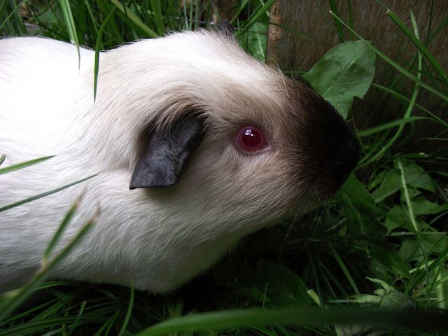 Himalayan Guinea Pig by Panscrub, via Flickr