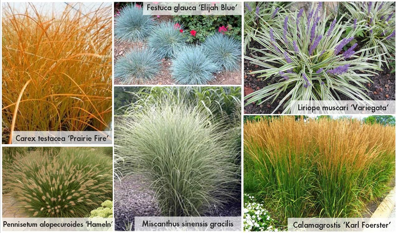 Sun grasses blue oat grass fescue elijah blue liriope for Tall ornamental grasses for sun