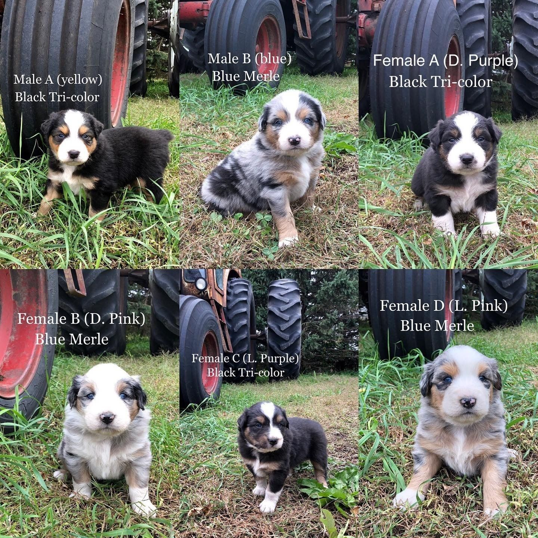 Australian shepherd puppies for sale granada mn in 2020