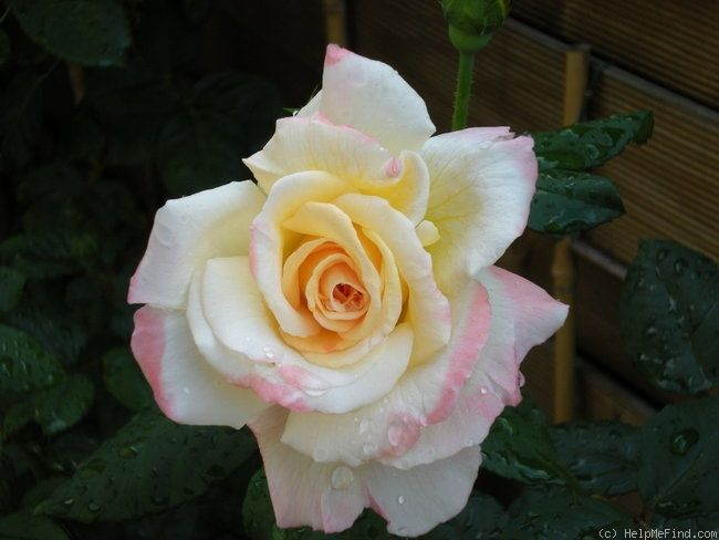 Aquarell Hybrid Tea Evers Tantau 1999 Rose Click To Enlarge