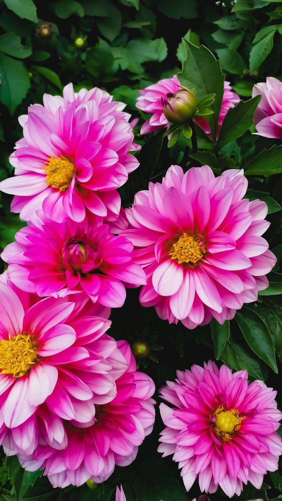 Pink Dahlia Flower Phone Wallpaper Sunflower Wallpaper