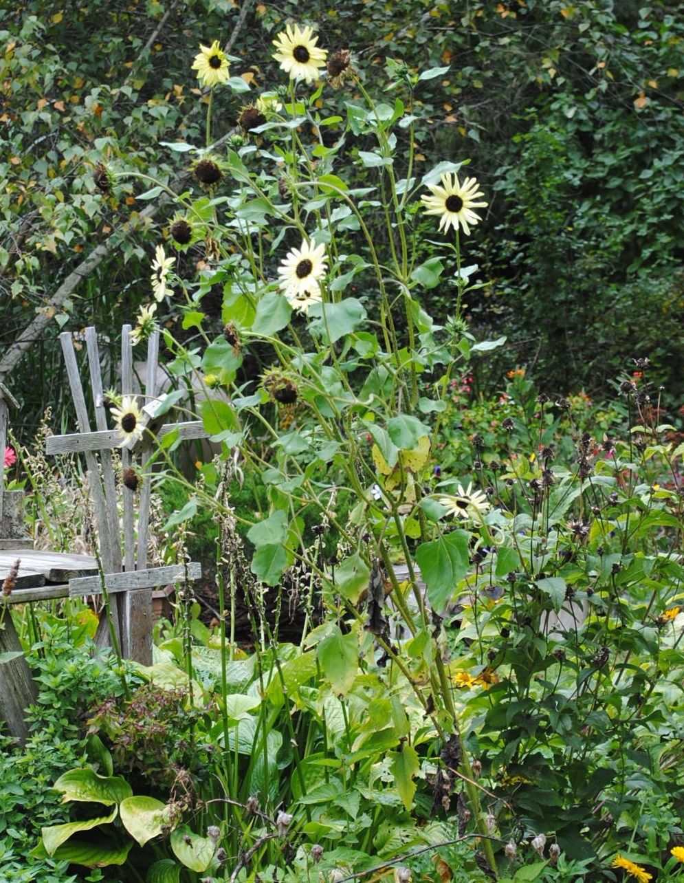 Photo Of The Entire Plant Of Sunflower Helianthus Annuus Italian White Posted By Chelle National Gardening Association Plants Photo Sunflower
