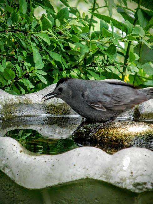 Bird-bath in a Catbird's Garden Playground