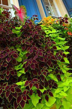 coleus and sweet potato vine.. striking combo #wanderingjewplant