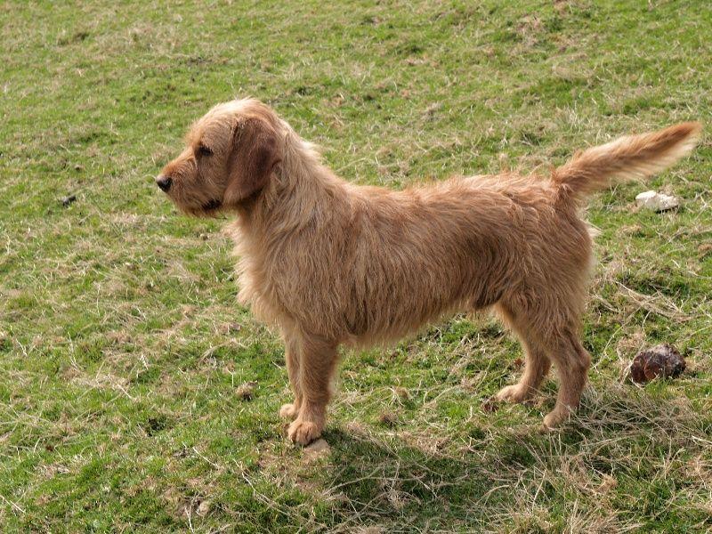 Basset Fauve De Bretagne 06 Dog Breeds Dog Breeds Medium Medium Dogs