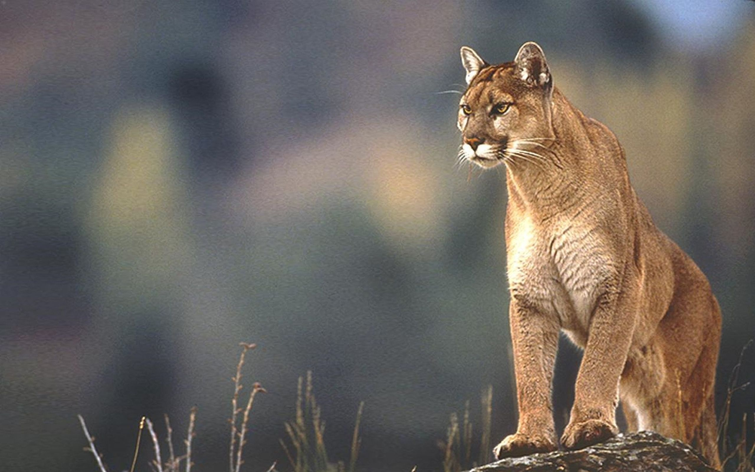 Lions Tigers And Bears Oh My Mountain Lion