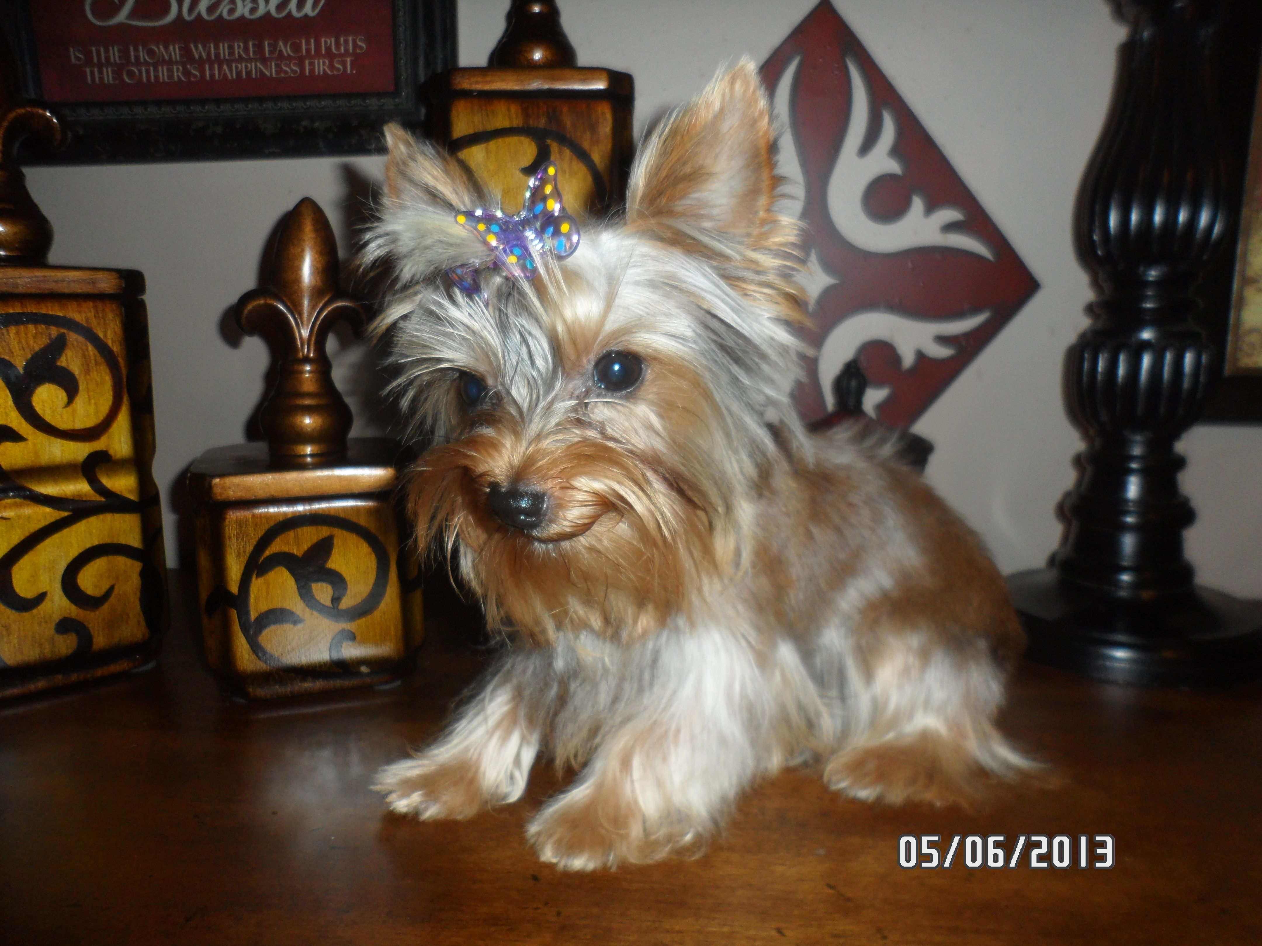 Akc Clear Blonde Yorkies Carries Chocolate Teacup Female A