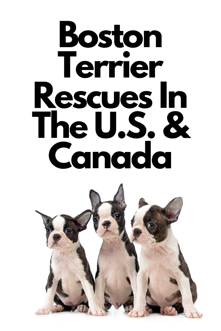 Boston Terrier Rescues Across The U S Canada Boston Terrier Society Boston Terrier Rescue Boston Terrier Terrier