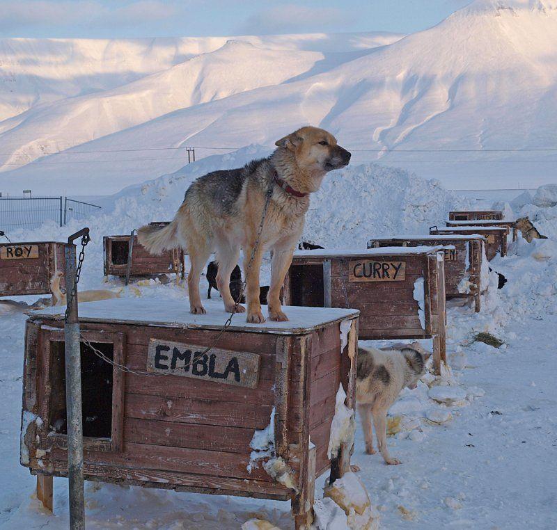 sledehunden Embla på Svalbard