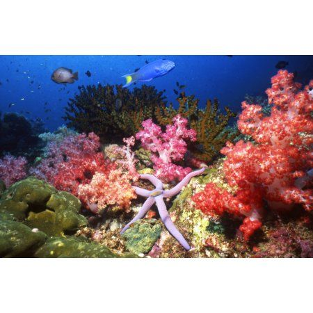 Starfish in soft coral Thailand Canvas Art - Beverly FactorStocktrek Images (35 x 23)