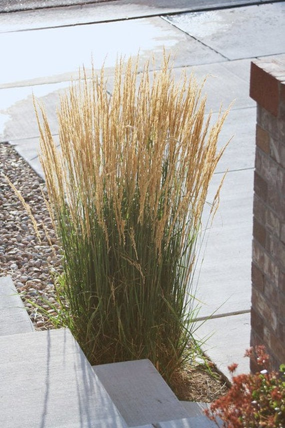 This Beautiful Grass Is Springing Up An Absolutely Showstopping Source Of Late Season Ornamental Grass Landscape Tall Grass Landscaping Grasses Landscaping