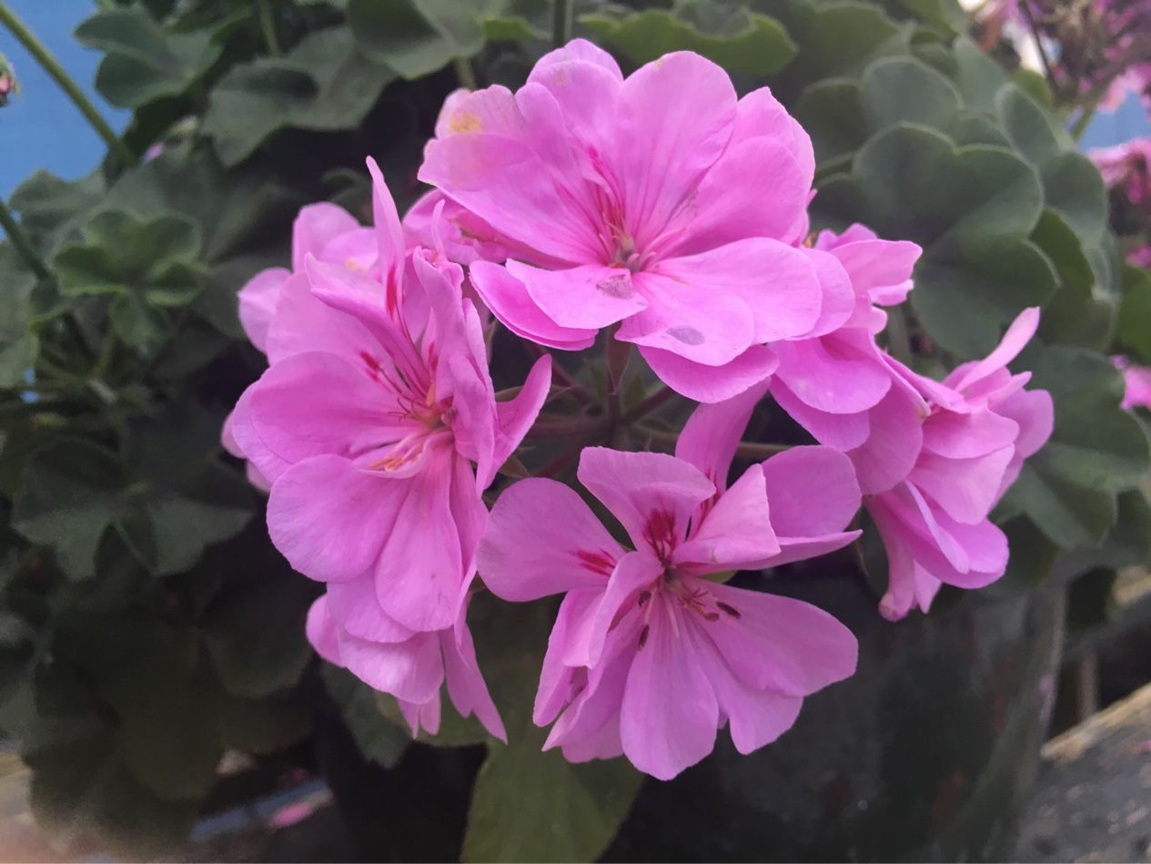 Geranium Hanging Basket!! $14.99!! Atlantic Garden Center!
