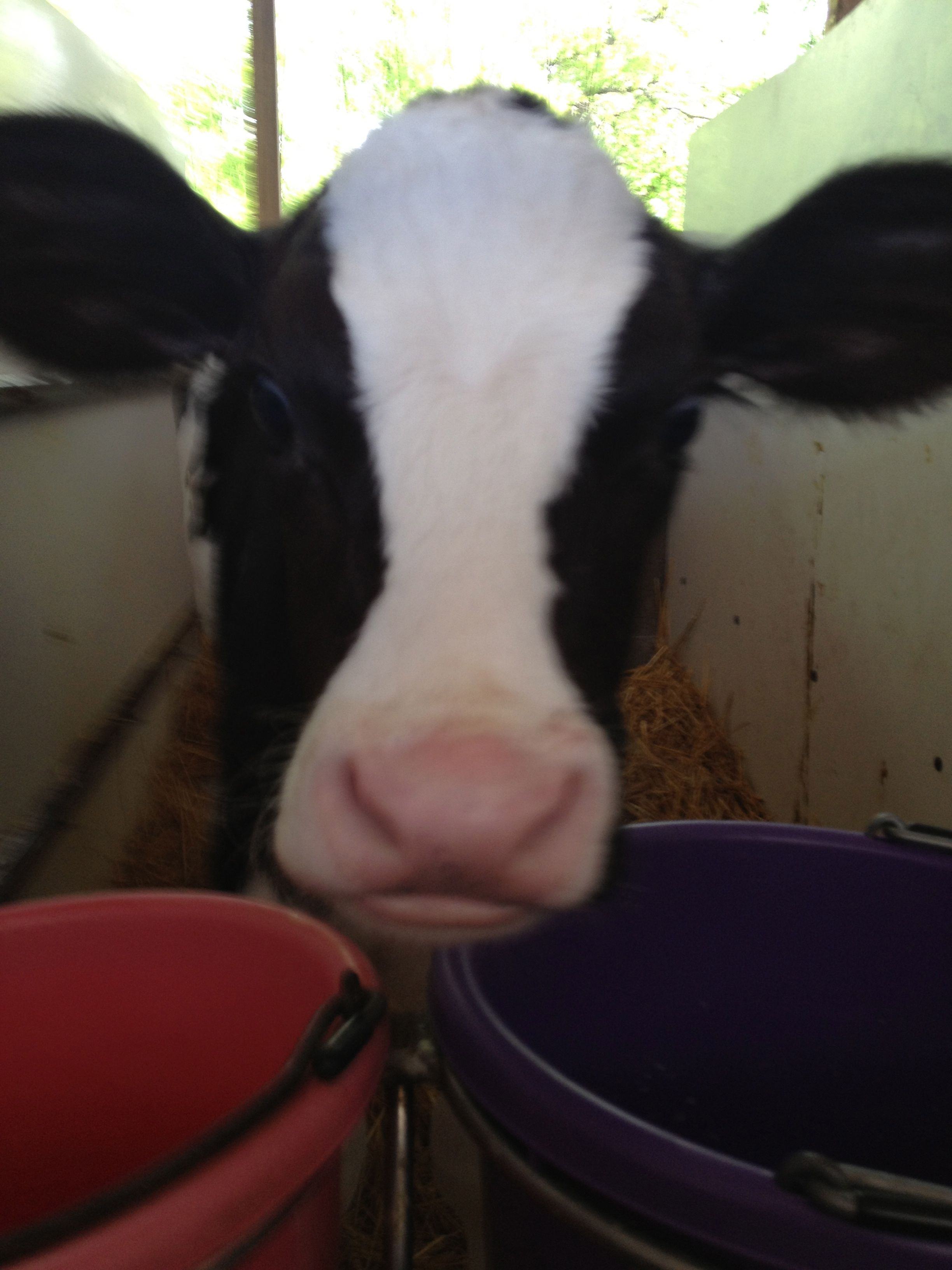 A picture of a dairy cow. Farm pictures, Dairy cows